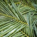 Abstract background of a pile of cut and harvested palm fronds for use in cooking or building
